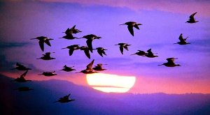 Migrating birds ...